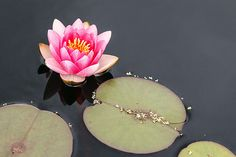 Water Lily, Bodnant