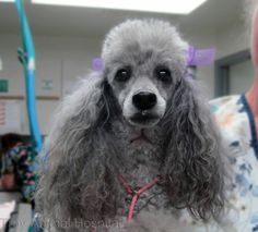 Photo: It's Monday, we hope you look as fabulous this morning as Annie does. #poodle