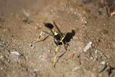 Mud Dauber Wasp in The High Desert