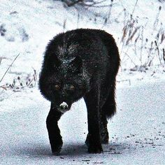A wild Banff, Alberta moment, Black Wolf Alpha Wolf, Beautiful Wolves, Cute Creatures, Dog Art, Werewolf, Drawing Reference, Squirrel, Pet Dogs, Wolf Dogs