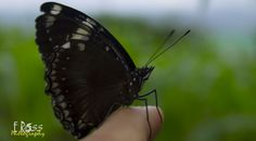 Black Butterfly by eross on YouPic Canon Eos 1100d, Butterfly, Black, Black People, Butterflies