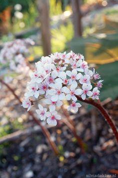 'Darmera peltata' flowers in my garden