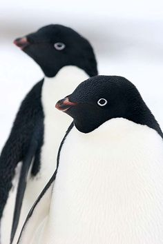 "Penguins:  ""We tend to see things in black and white; there are no grey areas with us!"""