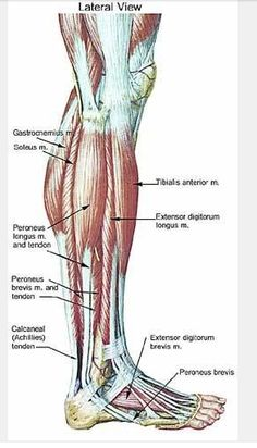 Human anatomy and physiology diagrams legs muscle diagram healthy to get a full appreciation of what happened to me last sundays pim i tried to look for charts and pictures of specific muscles of the lower leg ccuart Gallery