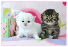 Gorgeous Persian kittens for sale. Specializing in rare colors and sizes including teacup and toy persians. Persian Kittens For Sale, Kitten For Sale, Cute Cats And Dogs, Cats And Kittens, Teacup Kitten, Elsa Anna, Tea Cup, Dog Cat, Animals