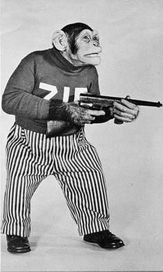 Gangster chimp