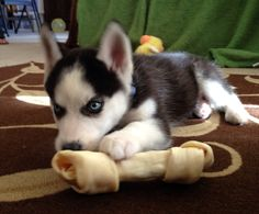 Mini Siberian Husky puppy