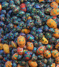 Cotton Harlequin Bugs - pesky in the garden but, oh my, would I love to see these !!