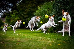 A Jack Russell leaps to catch a ball in Stanmer park, Brighton Photograph: Rhian White