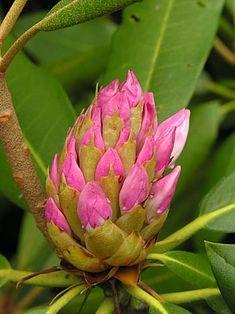Rosebay Rhododendron (Rhododendron maximum) flower buds