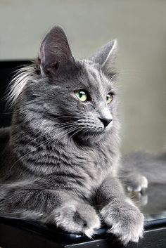 There is just something about grey cats that I absolutely love!