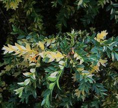 Buxus sempervirens 'Aureovariegata' 1