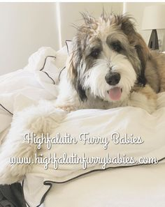 Bed head!   Sable Bernedoodle from Highfalutin Furry Babies
