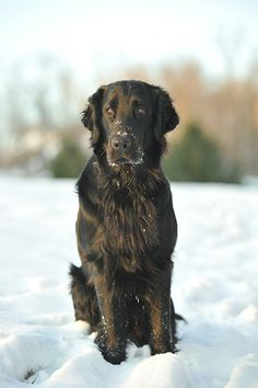 Flat Coated Retriever, or Handsome Floppy Beast Dog. Golden Retrievers, I Love Dogs, Cute Dogs, Flat Coated Retriever, Retriever Dog, Dogs And Puppies, Doggies, Like Animals, Girl And Dog