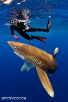 Diving with Oceanic Whitetips!!! In my top 3 favorite sharks!!