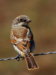 Woodchat Shrike, Lanius senator, family Laniidae. It breeds in S Europe/ the Middle East/ NW Africa, & winters in tropical Africa
