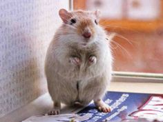 #COLORADO ~ Honey Boy is a Gerbil in need of a loving #adopter / #rescue at DUMB FRIENDS LEAGUE - CASTLE ROCK 4556 Castleton Court #CastleRock CO 80104 customercare@ddfl.org    Ph 303-751-5772