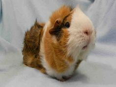 Caramel is available for adoption at the PetValu store at King and Dufferin!    For more information about this animal, call: City of Toronto Animal Services South Region at (416) 338-6668  Ask for information about animal ID number A620802