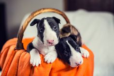 Bull Terrier puppies in a basket.