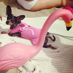 Why not skip work to go to the beach? ☀️ Check out this #adorable picture of Penny in her customized Fetch dress at the #beach  #dogdress #dog #funinthesun #chihuahua #pink