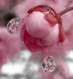 pink flower and dew drops Macro Fotografie, Fotografia Macro, Pretty In Pink, Pink Flowers, Beautiful Flowers, Draw Flowers, Pink Petals, Simple Flowers, Pink Roses