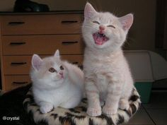 Cyoot Kittehs of teh Day: Uh Oh, Here Come the High Notes. - World's largest collection of cat memes and other animals Cute Cats And Kittens, Baby Cats, Kittens Cutest, Baby Animals, Funny Animals, Cute Animals, Kitty Cats, Funny Cat Memes, Funny Cats