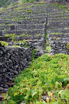terraced vineyards, Santa Maria Island, Azores Islands, Portugal