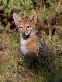Coyote pup portrait