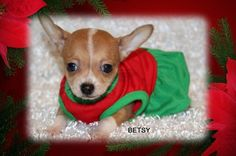 """Fairytailpuppies """"where pets are family too - BETSY"""