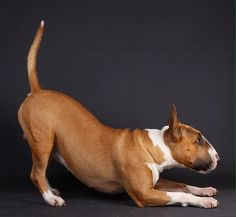 Down dog. Yoga for Bull Terriers!