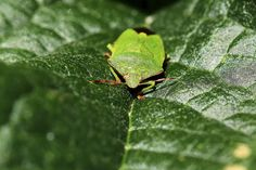 Green Shield Bug | by EmyJSkylark