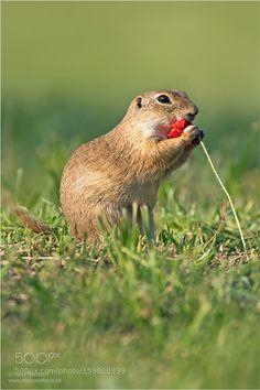 Spermophilus / Ziesel by hans24 #animals #animal #pet #pets #animales #animallovers #photooftheday #amazing #picoftheday