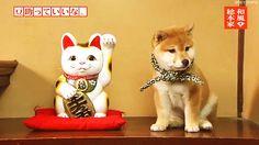Yo quiero ese perrito Akita ><