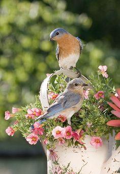 Spring Eastern Bluebirds