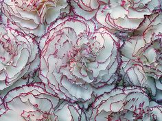 ~~ Carnations ~~ Claveles