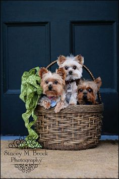 Yorkie basket- someone please deliver this to my house! :)