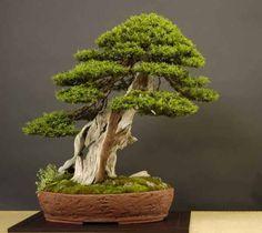 Cryptomeria japonica sedir ağacı japon sugi