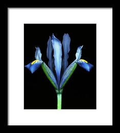 Black Background Framed Print featuring the photograph Blue Dwarf Iris Against Black Background by Mike Hill Mike Hill, Dwarf Iris, Black Wood, Hanging Wire, Clear Acrylic, Black Backgrounds, Fine Art America, Photograph, Design Inspiration