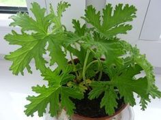 Geranium – niszczy bakterie i wirusy Dahlia Flower, Health And Beauty Tips, Geraniums, Herb Garden, Garden Projects, Garden Inspiration, Good To Know, Indoor Plants, House Plants