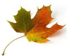 http://www.vanishingtattoo.com/tds/images/leaf_vines/leaf_vines_large/mapleleaf_002.jpg
