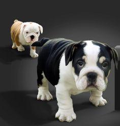 English Bulldog puppies.  I want the black one!