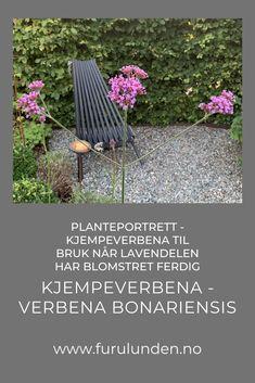 Når Lavendelen har blomstret ferdig, klippes den ned og spirene fra Kjempeverbena erstatter dem etter hvert. Kjempeverbena - Verbena Bonariensis blomstrer til frosten sniker seg inn i hagen. #hagetips #kjempeverbena #planteportrett #hageinspirasjon #hage Gardening Tips, Gardens, Rooms, Portrait, Plants, Lavender, Bedrooms, Headshot Photography, Outdoor Gardens