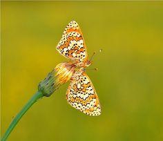 mooie veldparlemoer vlinders