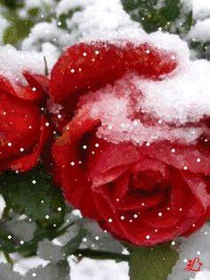 Розы - анимация на телефон №1441286