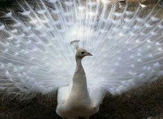 横滨市野毛山动物园 Nogeyama Zoo,一只白色的印度孔雀 Indian peafowl 正在开屏,日本 Japan。白孔雀是印度孔雀的变异品种,变异率约为千分之一。摄影师:Yoshikazu Tsuno