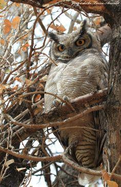Magellan Horned Owl (Bubo magellanicus) Chile.