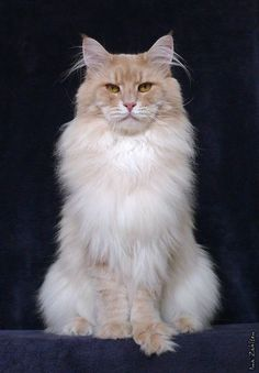Red silver Maine Coon