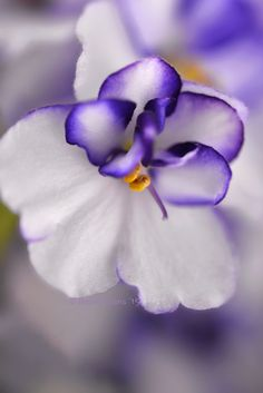 Purple edged White African Violet | by Robin Evans