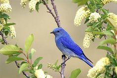 Mountain Blue Bird-stunning color
