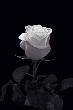 Flowers Photography Black And White Roses 25 Trendy Ideas Black And White Roses, Black And White Aesthetic, Black And White Pictures, Black Dark, Snow White, Flower Phone Wallpaper, Black Wallpaper, Flower Wallpaper, White Roses Wallpaper